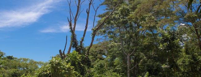 Furcifer pardalis Ankify, Habitat, 2019