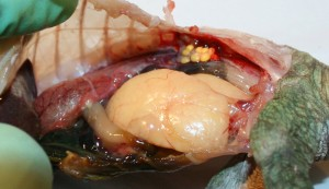Abdominalfettkörper bei Calumma parsonii