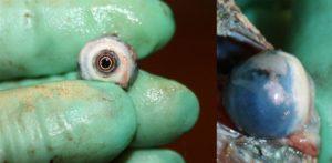 Auge Chamäleon präpariert