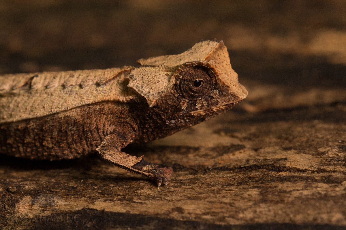 Brookesia decaryi in Ankarafantsika 2018