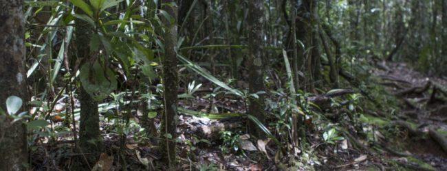 Brookesia superciliaris Habitat in Mitsinjo 2016