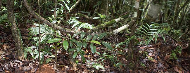 Brookesia superciliaris aus Mitsinjo 2016
