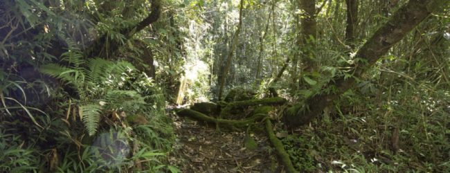 Brookesia superciliaris aus Ranomafana Habitat