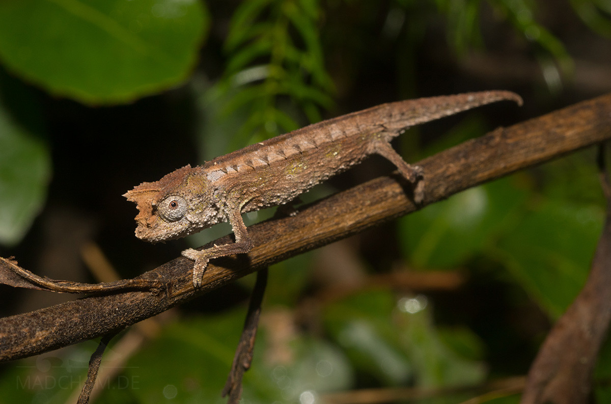 Brookesia thieli in Anjozorobe 2018
