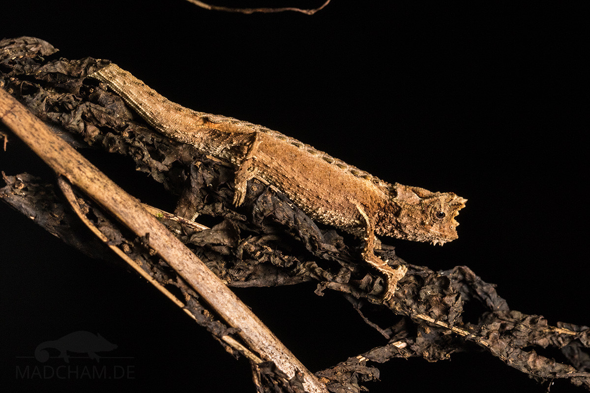 Brookesia thieli in Ranomafana 2018