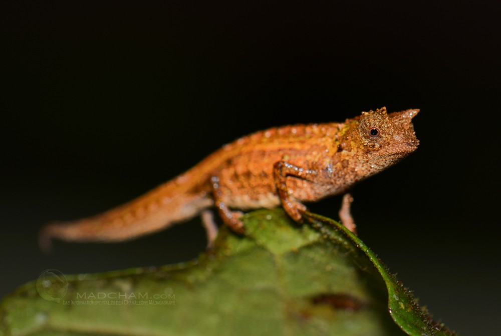 Brookesia karchei