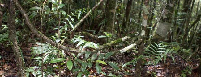 Habitat von Calumma nasutum Mitsinjo, 2018