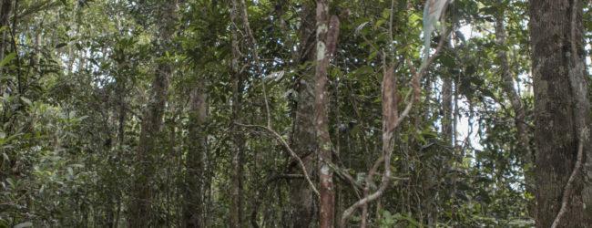 Calumma parsonii cristifer Analamazaotra Habitat