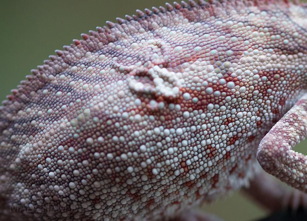 Filariose Furcifer pardalis