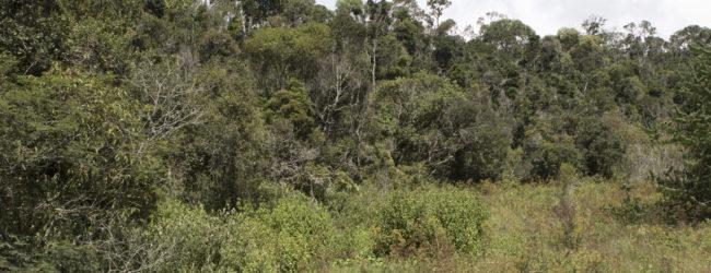 Furcifer campani neues Habitat