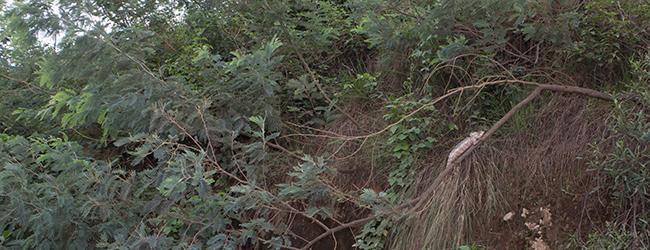 Furcifer oustaleti Habitat Ivato