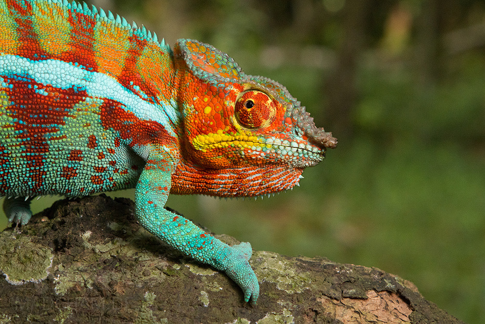 Furcifer pardalis Ambanja, male, 2019