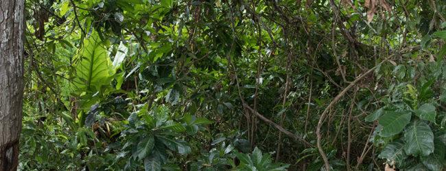 Furcifer pardalis Habitat Ankaramibe 2019