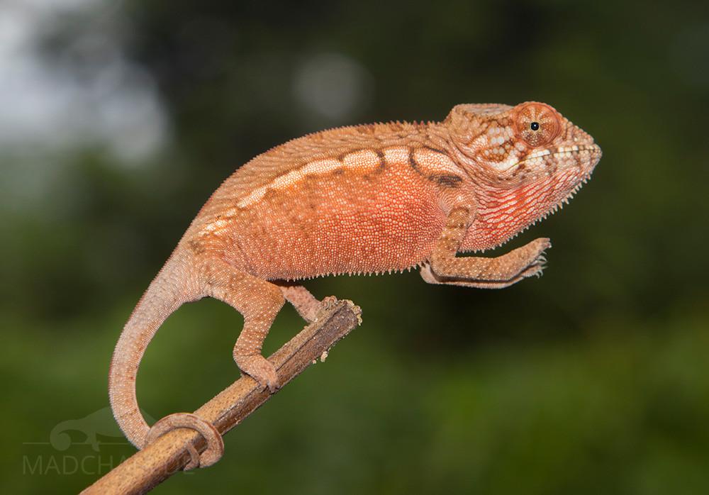Furcifer pardalis Jungtier aus Djangoa