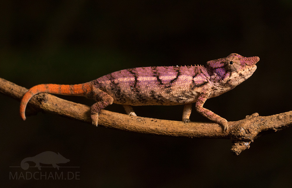 Furcifer rhinoceratus female, Ankarafantsika 2019