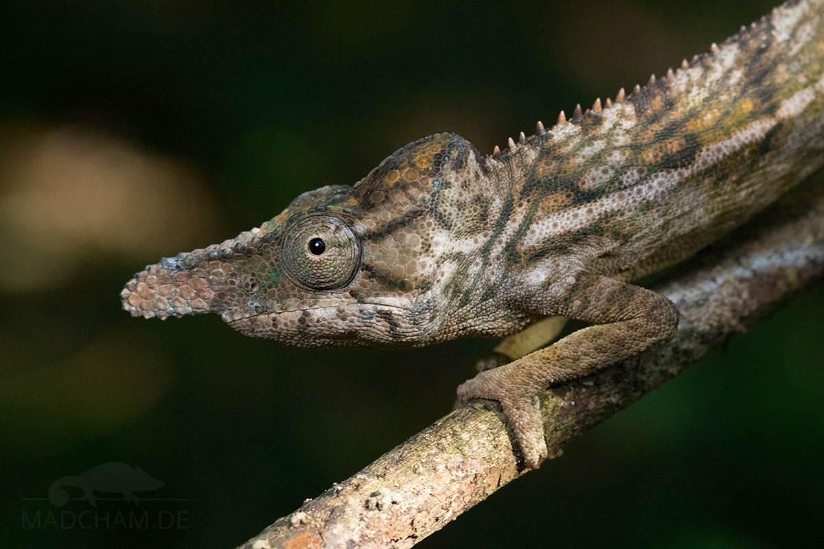 Furcifer rhinoceratus in Ankarafantsika 2018