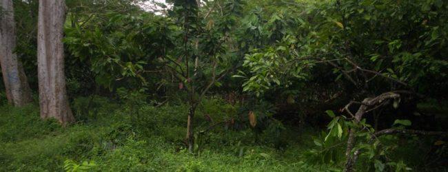 Habitat in den Kakaoplantagen von Ambanja, 2013