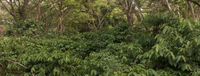 Habitat Ambanja Kaffeeplantagen 2018