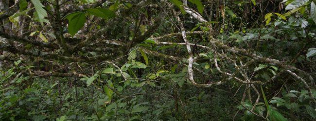 Habitat Calumma parsonii, 2013