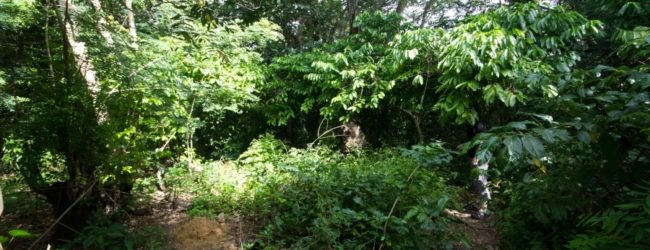 Habitat in den Kakaoplantagen von Djangoa, 2013