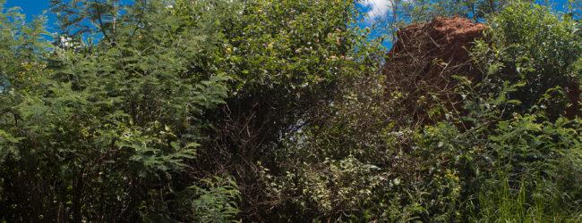 Habitat Furcifer lateralis im südlichen Hochland 2018