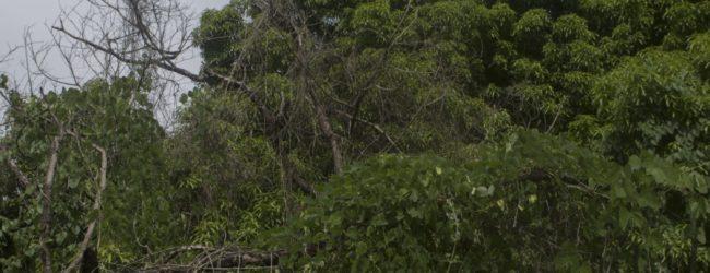 Habitat Furcifer viridis