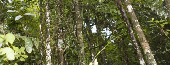 Habitat Ranomafana Fundort Furcifer balteatus