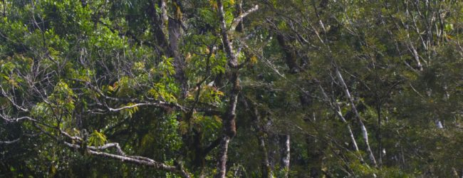 Habitat Ranomafana Furcifer balteatus und Calumma oshaughnessyi