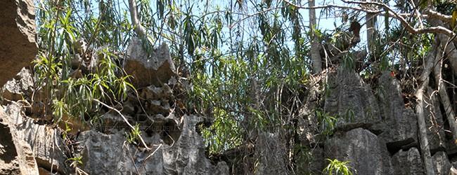 Habitat Tsingy de Bemaraha
