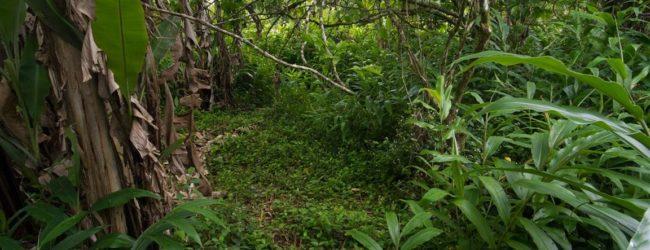 Habitat Vohimana in Bananenplantage, 2013