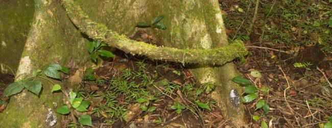 Habitat von Brookesia tuberculata im Montagne d'Ambre