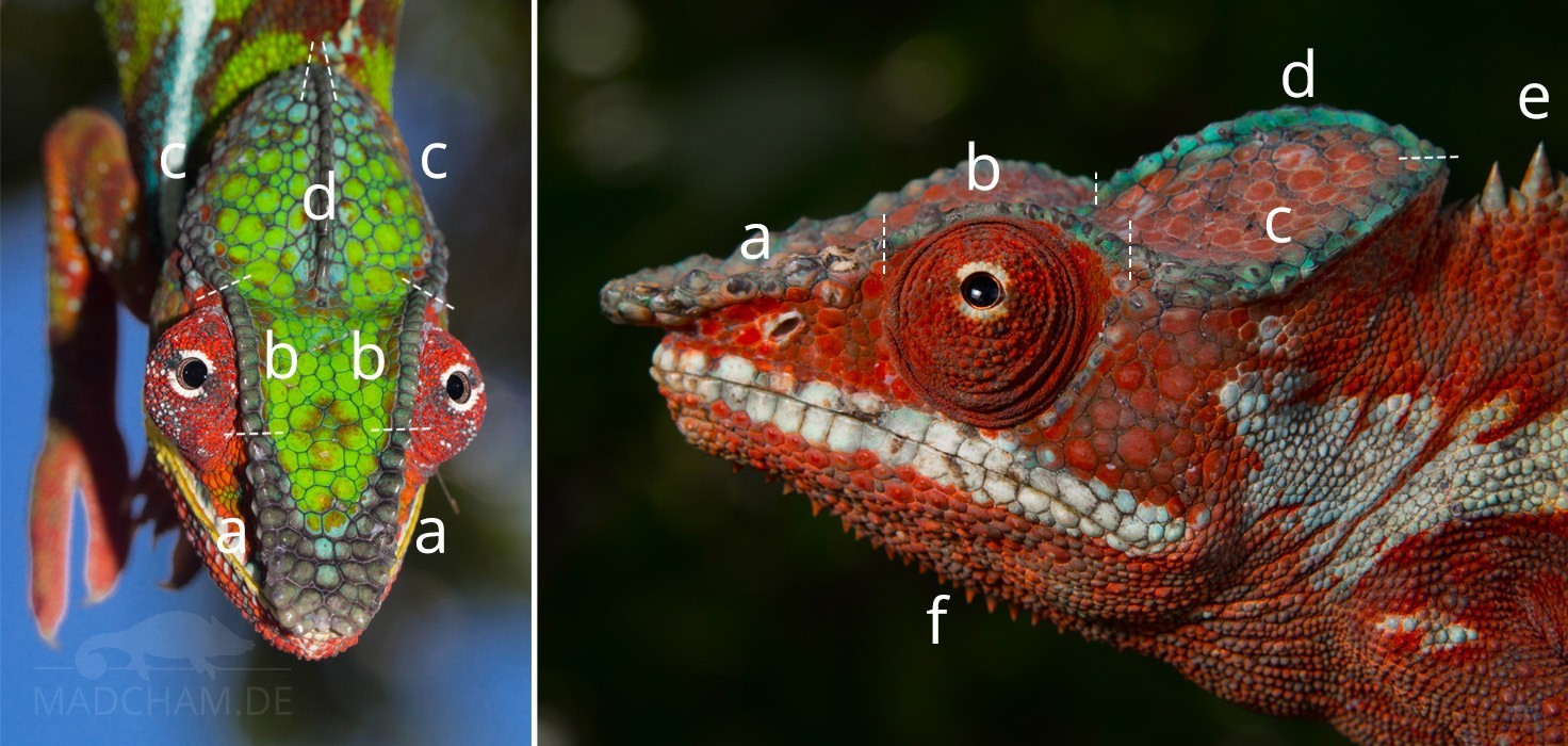 Head crests in chameleons