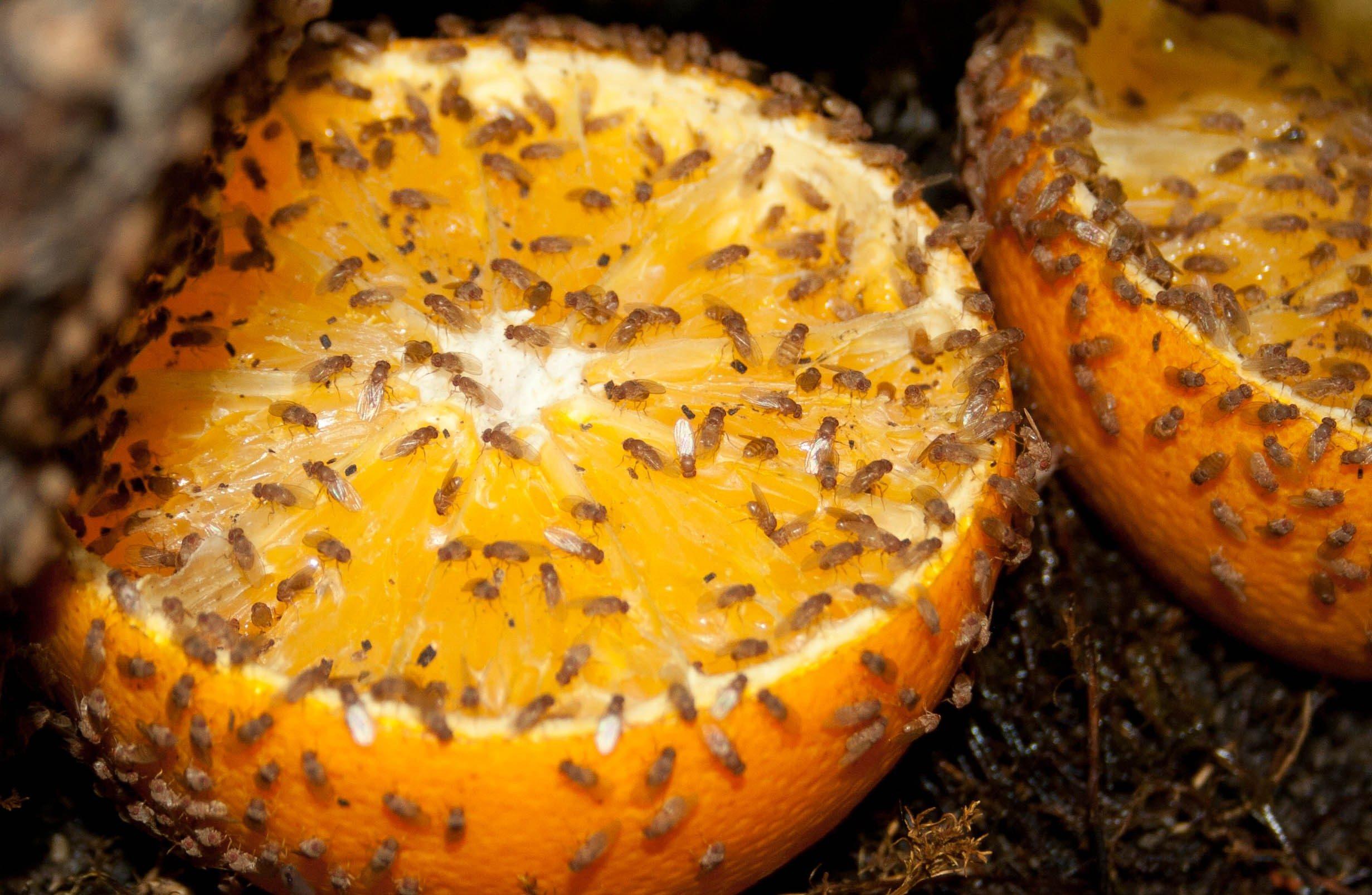 Futtertiere for Fruchtfliegen in pflanzen