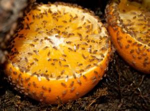 Orangenhälfte zum Anlocken von Fruchtfliegen