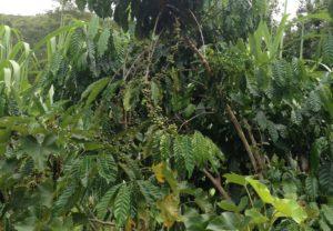Kaffeepflanze auf Madagaskar
