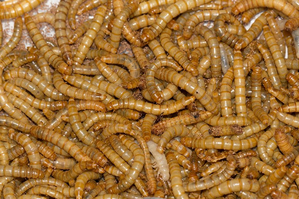 Mehlwürmer