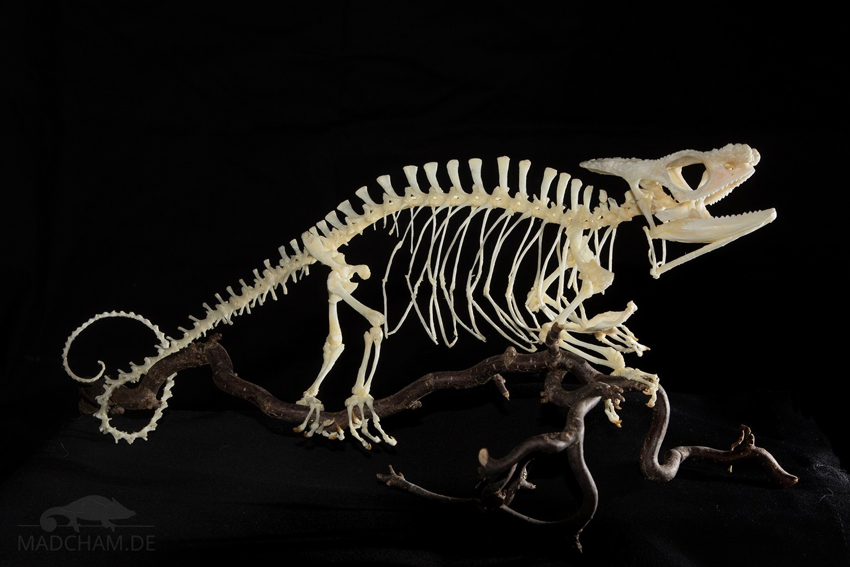 Skelett Calumma parsonii parsonii Männchen