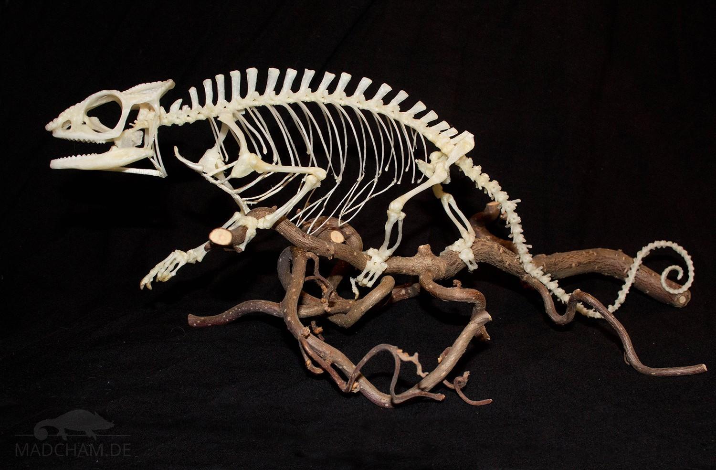 Skelett Furcifer pardalis Männchen