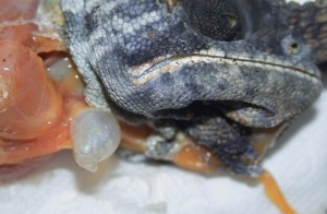 Zusätzlicher Luftsack im Kehlbereich eines Furcifer balteatus