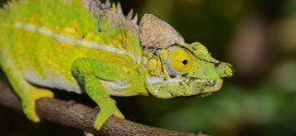 Furcifer antimena