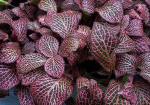 Rosa-grüne Mosaikpflanze