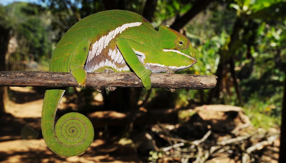 Furcifer balteatus
