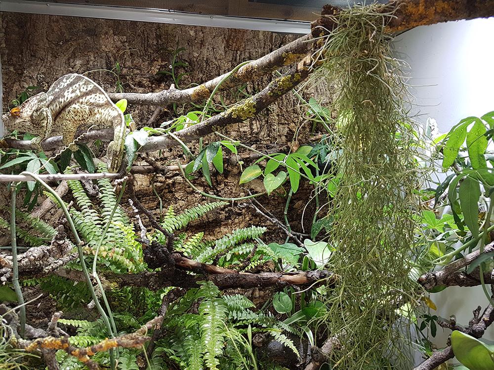 Lousiana Moos im Parsons Terrarium