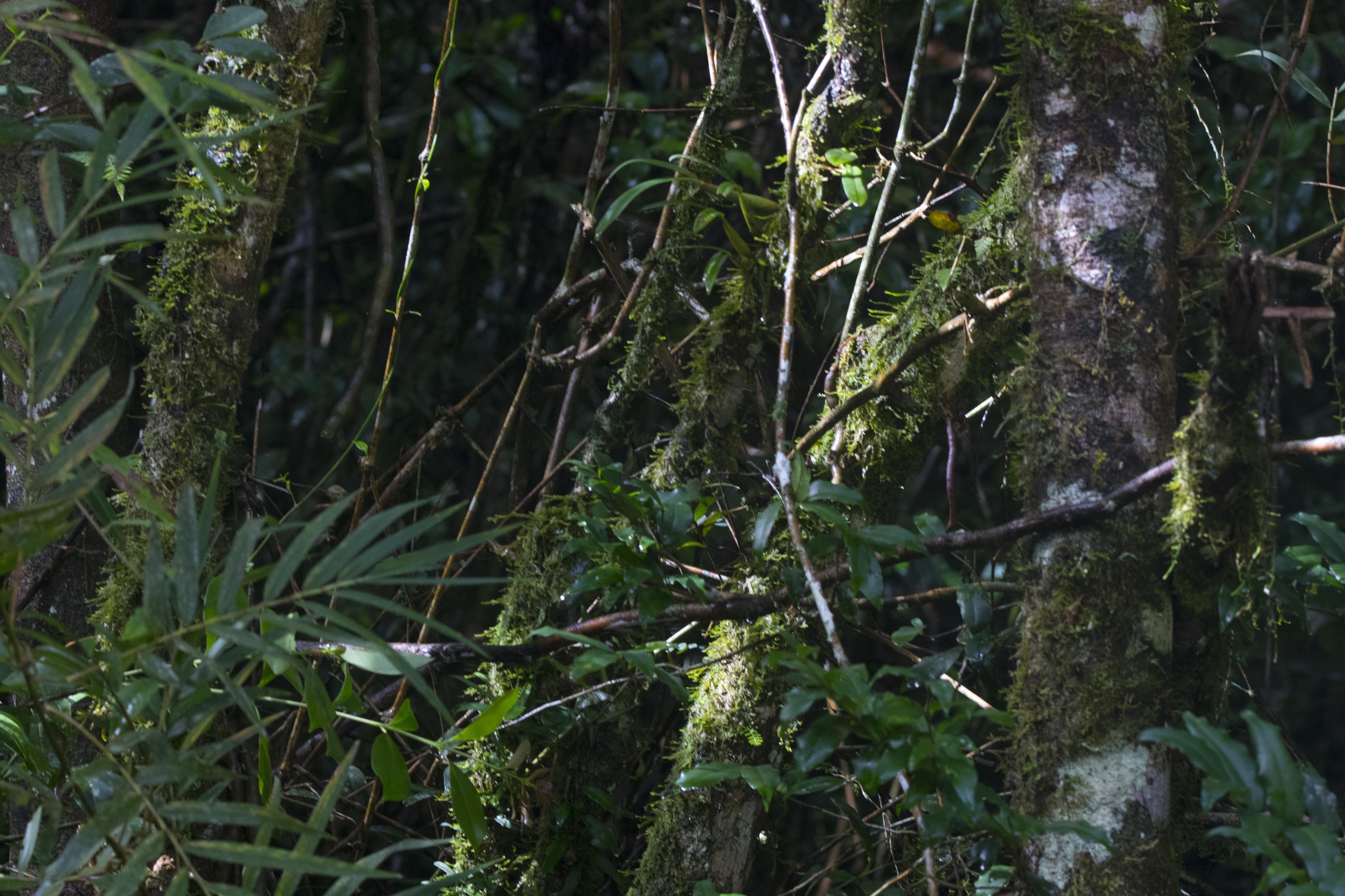 Habitat Ranomafana Palleon nasus