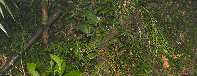Ranomafana Habitat Brookesia