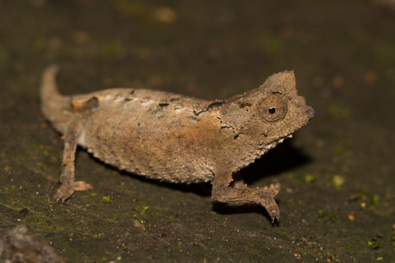 Brookesia brunoi