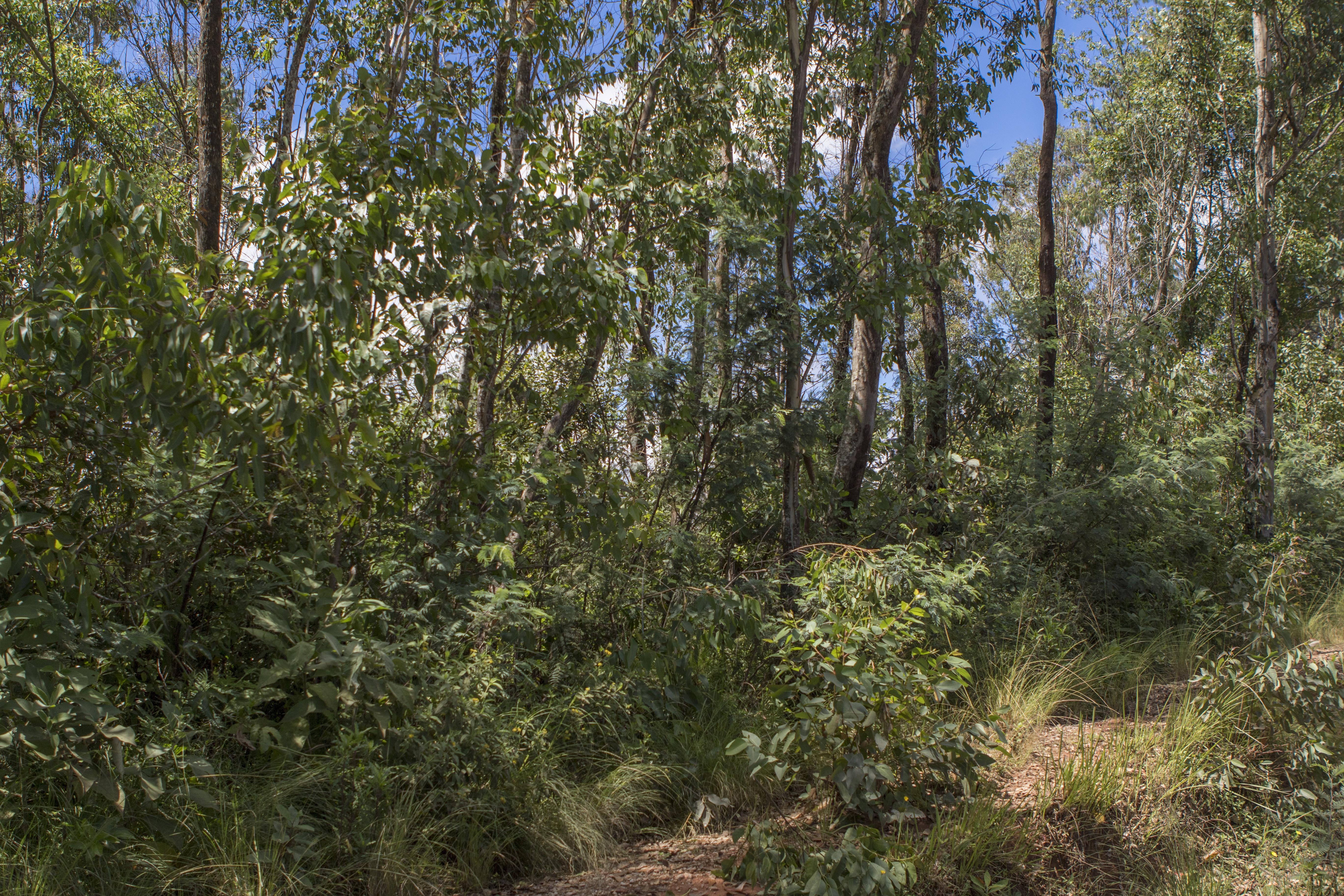 Calumma crypticum Habitat vor Ambositra