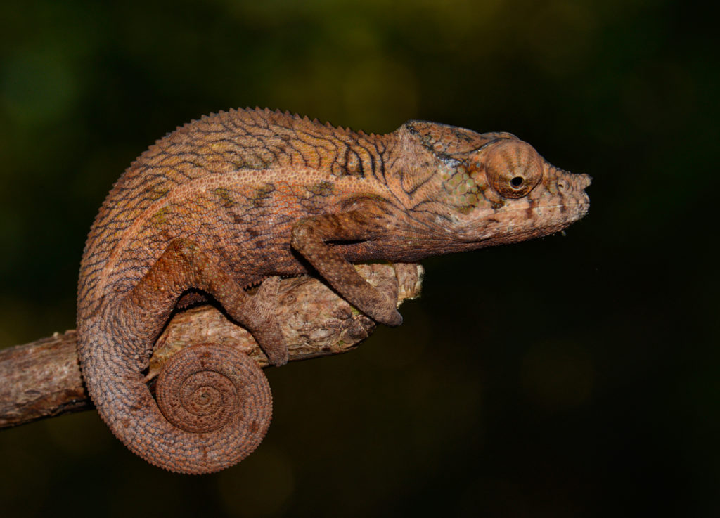Furcifer angeli