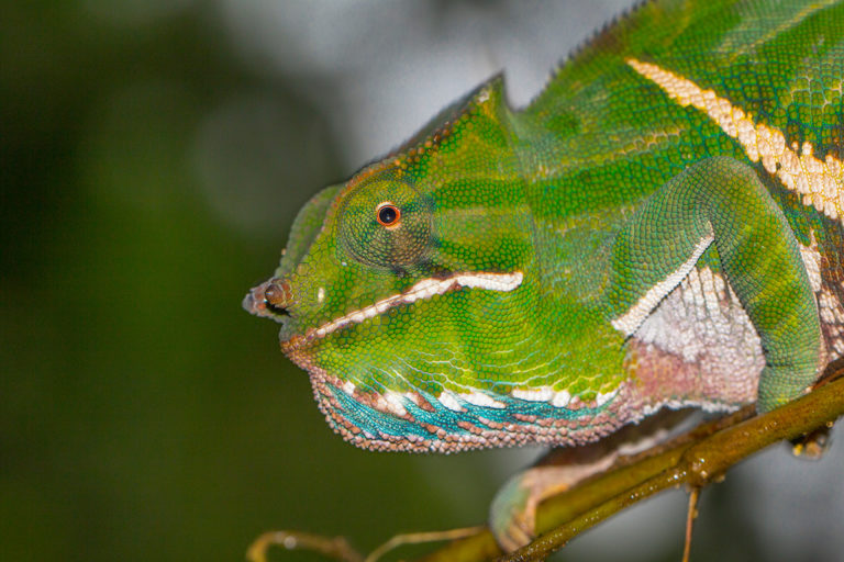 Furcifer balteatus male