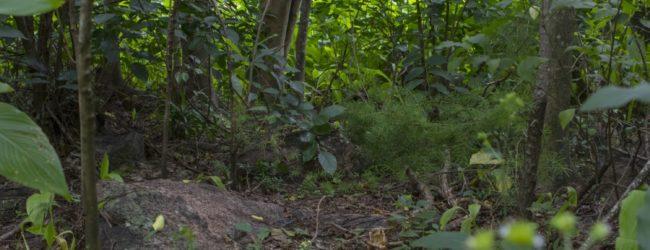 Habitat Brookesia brunoi in Ambalavao 2017